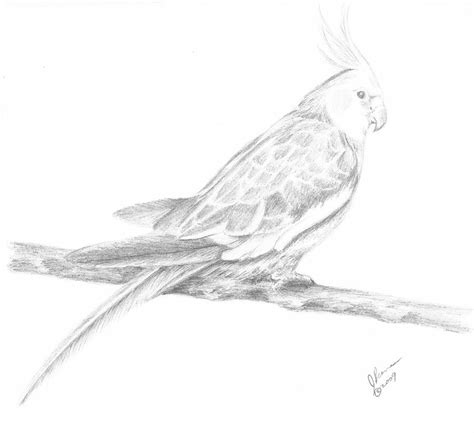 Home Decor Apps For Ipad Cockatiel Drawing By Joann Renner