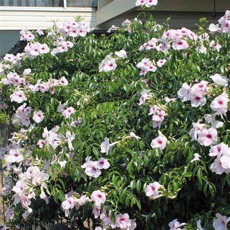 houseplant vine australian seed pandorea jasminoides pink magic