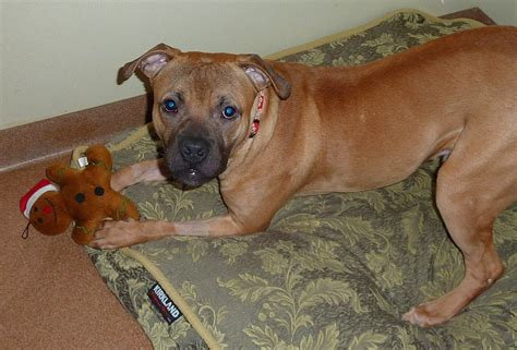 pitbull boxer puppies image pitbull boxer mix puppies jpg koror survivor org wiki