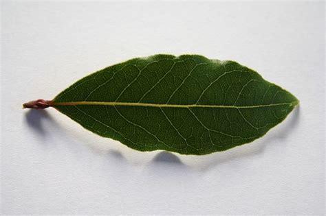 pianta di alloro in vaso alloro pianta piante da giardino caratteristiche della