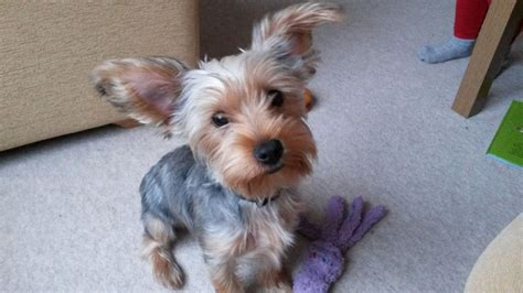 6 month yorkie 6 month yorkie 6 month terrier for sale brentwood