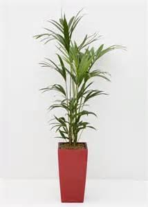 indoor plants uk howea forsteriana kentia palm great indoor palm for low