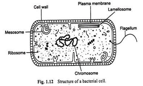 diagram of bacterial cell structure bacteria cell meaning and structure with diagram