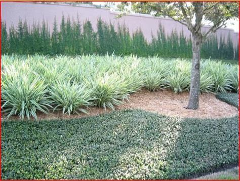 flax lilly mass planting landscape designs pinterest