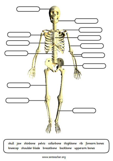 photos printable skull labeling human anatomy chart