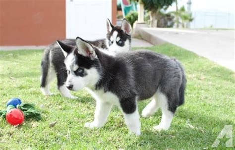 blooded wolf puppies for sale in siberian husky wolf hybrid puppies for sale 7175474121 for sale in auburn washington