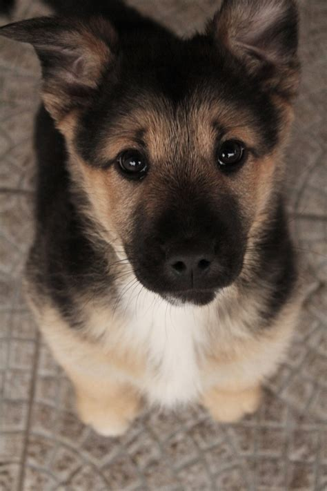 adorable german shepherd puppy puppy of german shepherd many