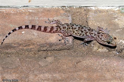 house lizard sounds of mediterranean gecko hemidactylus turcicus
