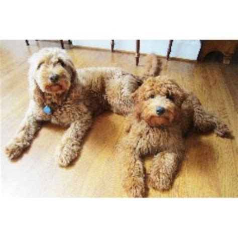 mini goldendoodle puppies nc goldendoodle breeders in carolina freedoglistings