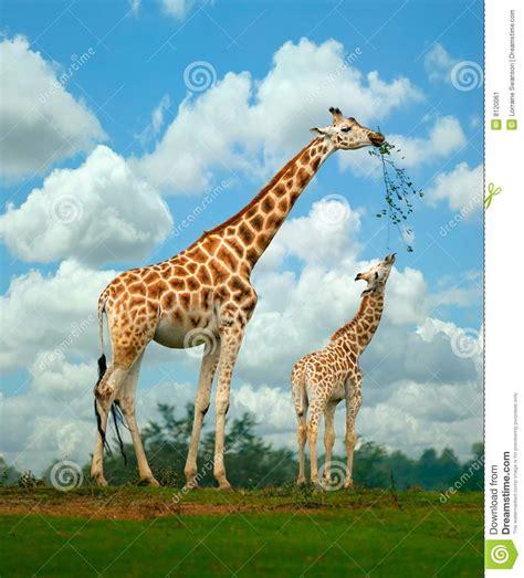 imagenes de jirafas en 3d jirafa imagen de archivo imagen 8120061