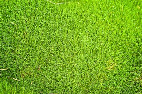 facts about zoysia grass zoysia grass problems