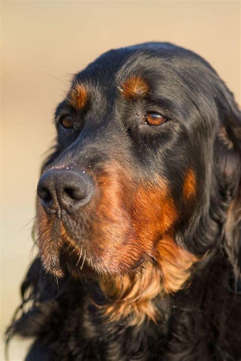 Morgan Setter Dog | 1000 images about setters on pinterest irish setter