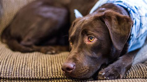 keep dogs off the couch how to keep your dog off the couch the labrador site