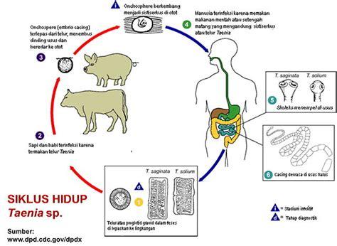 3 efek buruk jika cacing pita berkembang biak di tubuh