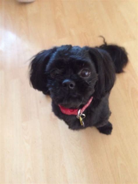 all black shih tzu for sale gorgeous all black 11 month shih tzu halifax west pets4homes