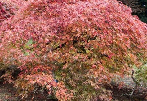 ten trees suitable for small gardens it s time to plant perfect plants