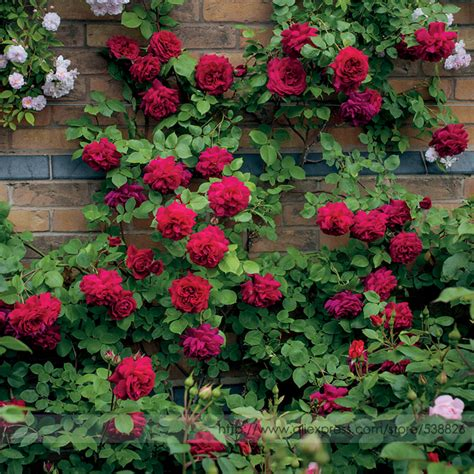 how to plant climbing roses popular climbing plant buy cheap climbing plant