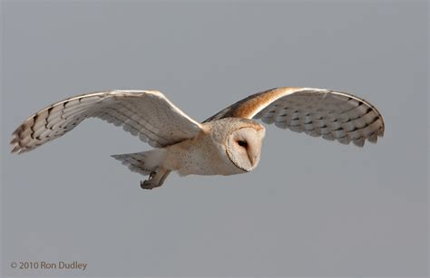 Barn Owl Flying barn owls in flight 171 feathered photography