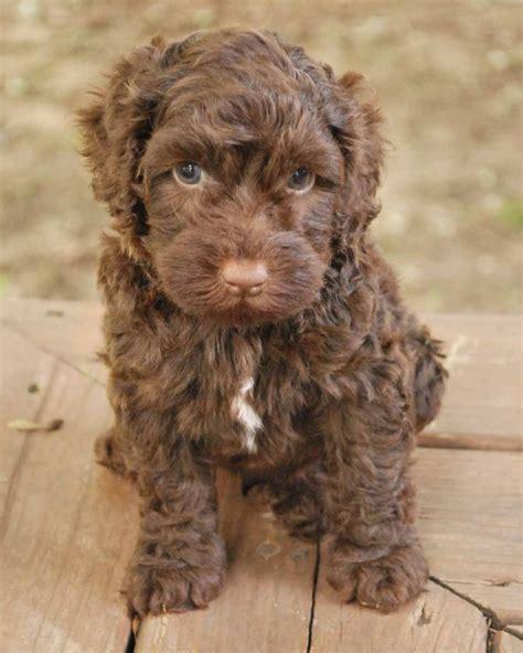 mini husky doodle puppy class graduate zen