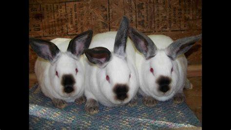 gabbie per conigli giganti conigli di tutte le razze
