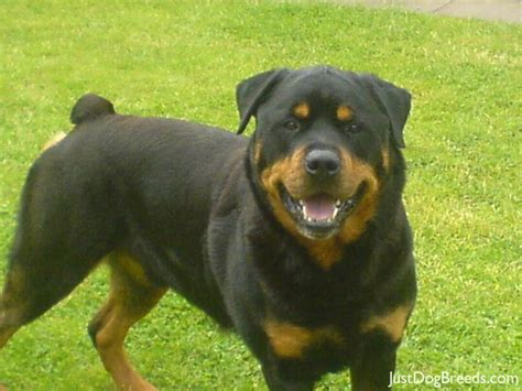 rottweiler types types of medium breeds breeds picture