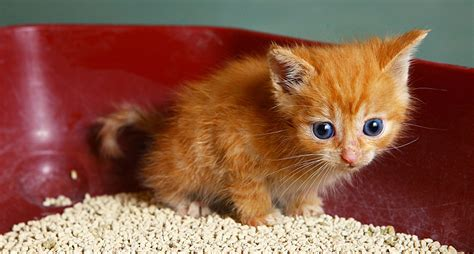 can you train a cat to go outside for bathroom cat training teaching your kitten with commands hill s pet