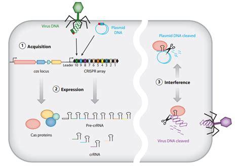crispr cas crispr cas adaptive immune system