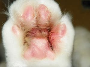 irritated paws skin conditions archives cat advice paws and effect