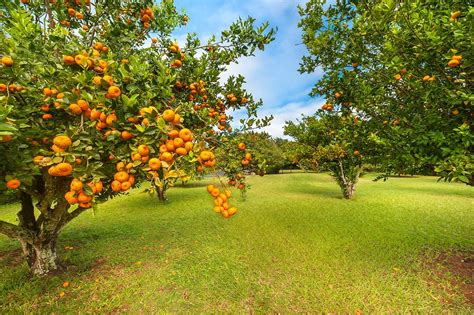 fruit trees hawaii kareem abdul jabbar s hawaiian oasis hits market