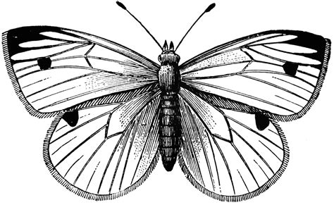 cabbage butterfly clipart