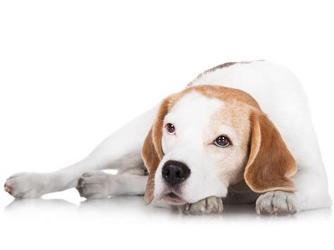 dogs with cancer 9 breeds with the highest cancer rate petmd