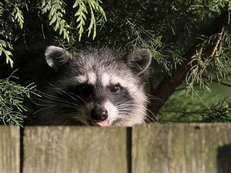 get rid of raccoons in 4 easy steps raccoons how to get
