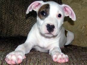American pit bull terrier puppies puppies dog breed information