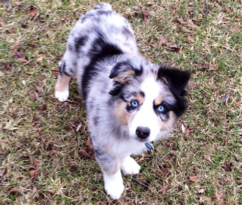 australian shepherd blue merle puppies 25 best ideas about blue merle australian shepherd on australian shepherd