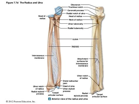 radius and ulna diagram radius and ulna diagram 28 images radius images frompo