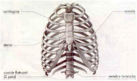 gabbia toracica sporgente apparato scheletrico umano