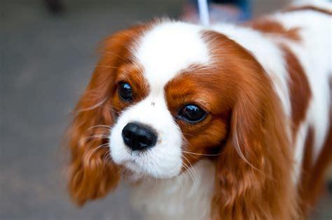 spaniel breeds spaniel breed gallery