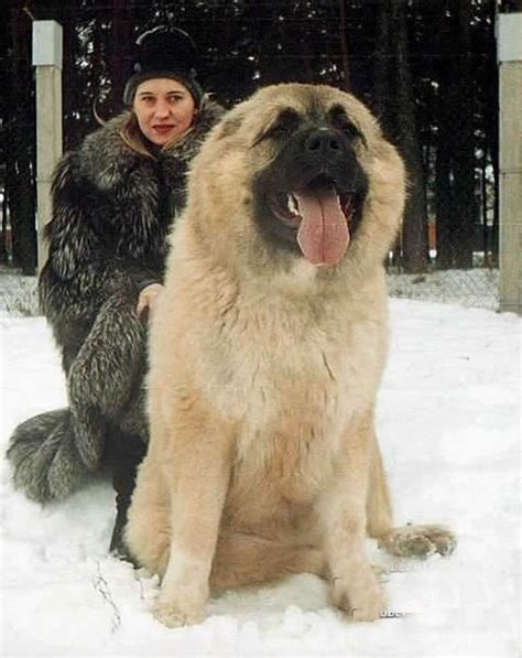 caucasian shepherd puppy 30 and breeds you ve never heard of and need to about immediately