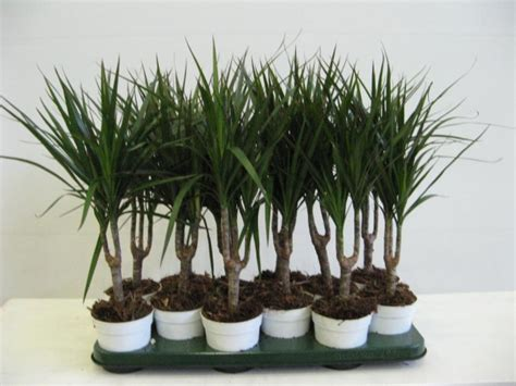 Dracaena Marginata by These Houseplants Can Effectively Clean The Air You