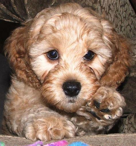 cost of labradoodle puppy labradoodle puppy up hi res 720p hd