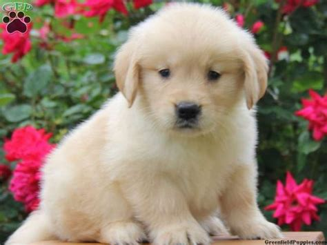 golden retriever for sale pa the world s catalog of ideas