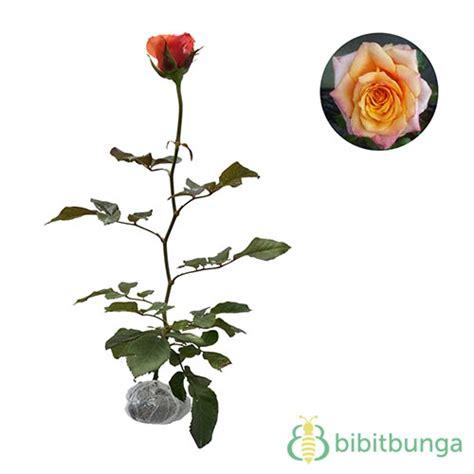 Benih Bunga Mawar Equador tanaman mawar orange equador jual tanaman hias