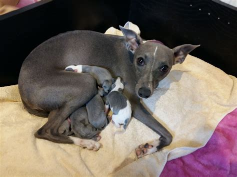 whippet for sale blue and white whippets for sale wakefield west pets4homes