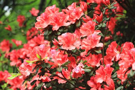 what color is azalea azalea flower meaning flower meaning
