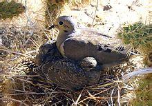 wat doesa brid dove look like mourning dove