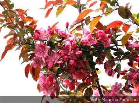 malus da fiore malus melo da fiore alberi della famiglia delle rosaceae
