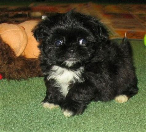 teacup peekapoo puppies for sale pekingese puppies for sale breeds picture