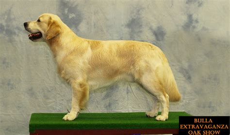 national show golden retriever 2017 clear clear pra1 2 clear ichthyosis clear md
