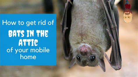 how to get a bat out of the house how to get rid of bats in the attic of your mobile home