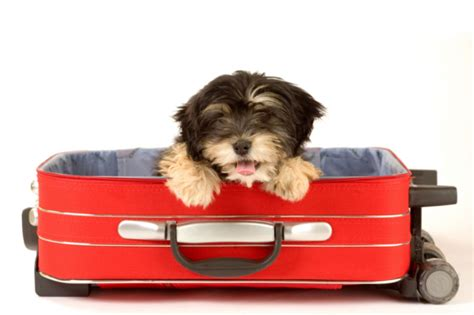 traveling with puppy how to travel with your beautyharmonylife